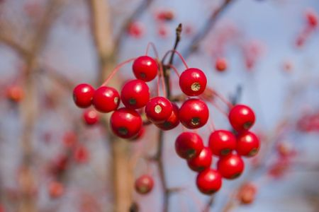 Bright red winter berries as a background