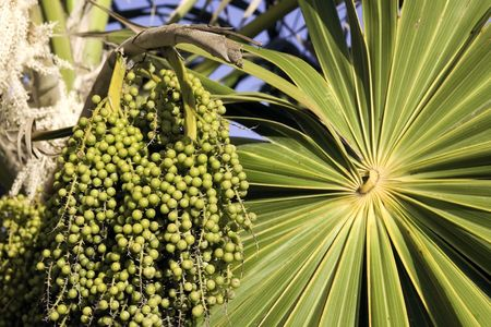 acai: Green unripe acai berries and palm frond