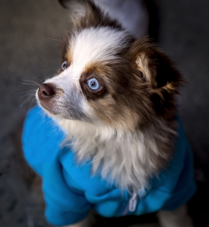 Cute little puppy with blue eyes