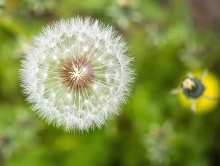 blowball: Blowball close-up Stock Photo