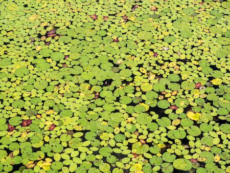 nymphaea odorata: The colorful floating leaves of a water lily (Nymphaea odorata) on the lake as a natural background Stock Photo