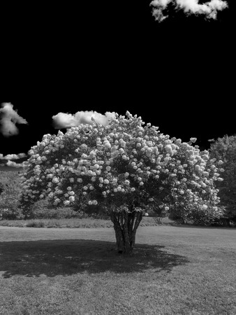 pis: Blooming Pee Gee hydrangea (Hydrangea paniculata Grandiflora) on the meadow under a blue sky (Black and white)