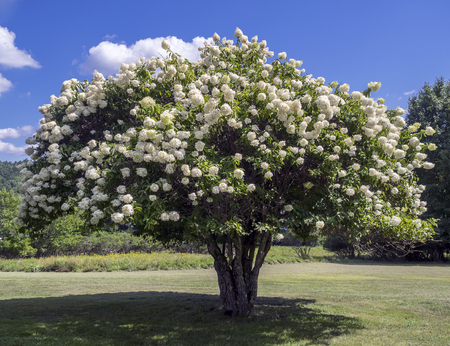Blooming Pee Gee hydrangea (Hydrangea paniculata Grandiflora) on the meadow under a blue sky Stock Photo