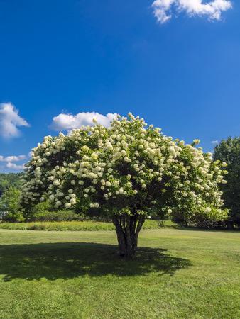 pis: Blooming Pee Gee (Hydrangea paniculata 'grandiflora') en la pradera bajo un cielo azul Foto de archivo