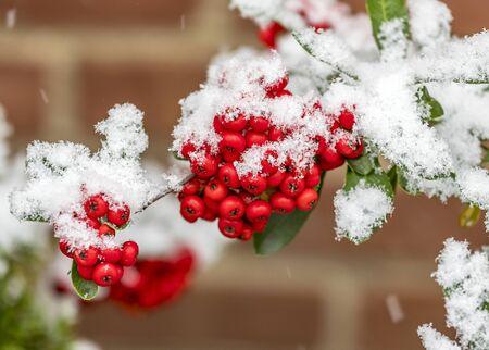 雪で覆われて rowanberries の束 写真素材