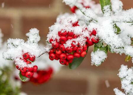 Bunch of rowanberries covered by snow