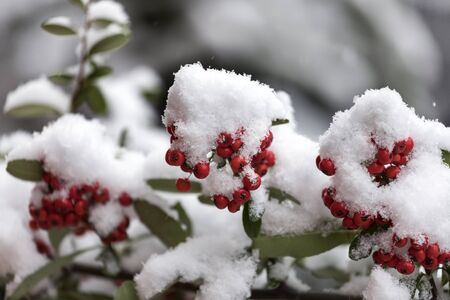 雪に覆われたローワンベリーの束 写真素材