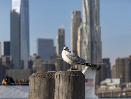 Seaggull with blurred manhattan skyline on the background
