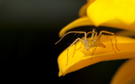 goldenrod spider: Yellow spider.