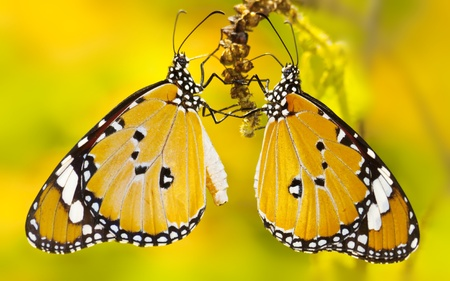 Butterfly yellow photo