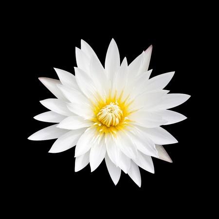 White lotus on a black background. White lotus with yellow pollen on a black background. Stock Photo