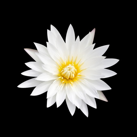 White lotus on a black background. White lotus with yellow pollen on a black background. Stock Photo