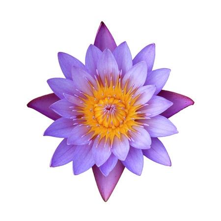 flores exoticas: Flor de loto de color rosa sobre un fondo blanco. Para una imagen de fondo.