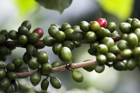 Fresh coffee beans are grown in coffee plantations.