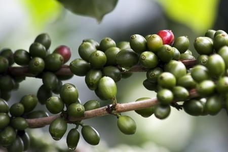 comida colombiana: Granos de caf� frescos se cultivan en plantaciones de caf�.