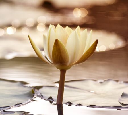 White lotus in the pond in the evening. photo