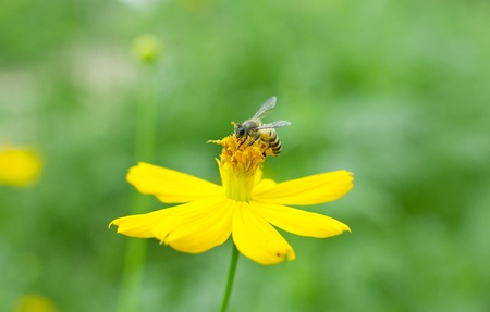 nature insect bee on the yellow flower photo