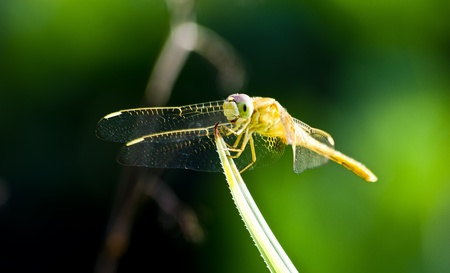 anisoptera: Yellow dragonfly in the garden.