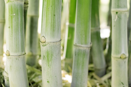 serenety: Green bamboo stems, leaves, branches are all green.