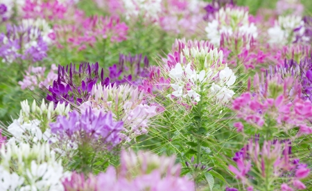 Colorful flowers  White, pink and Purple in the garden  photo