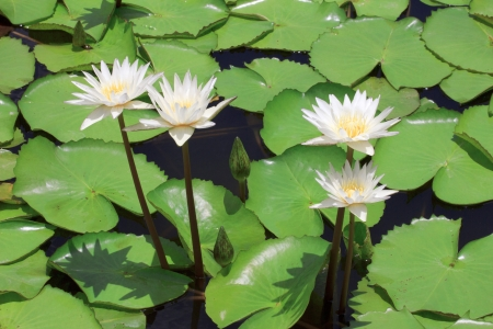 White lotus  Water lily with green leaves on the lake photo
