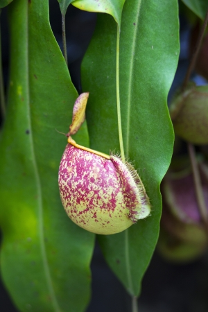 nepenthes  tropical pitcher plants or monkey cups  photo