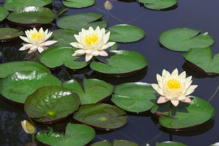 lirio blanco: Primer blanco flor de loto en el lago Foto de archivo