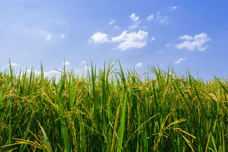 paddy fields: Rice grains yellow background sky with clouds. Stock Photo