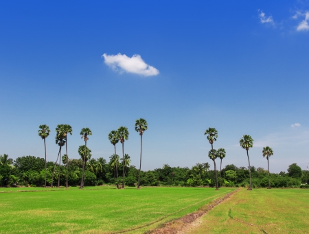 Palm tree in a rice field with blue sky Stock Photo - 16419731
