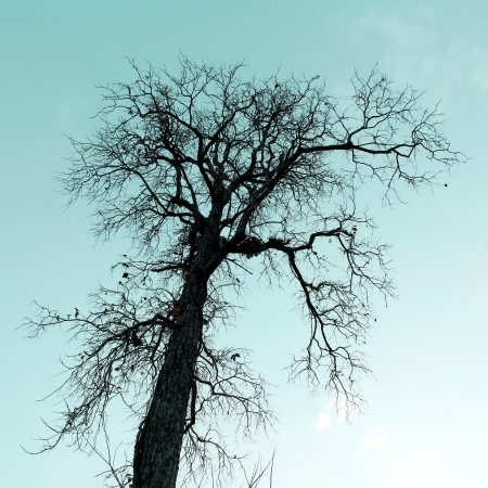 dead trees: Dry tree with sky background is a silhouette.