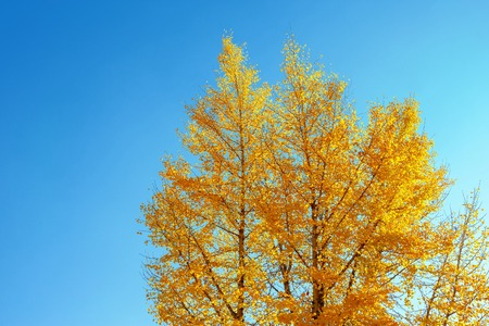 Ginkgo in the autumn leaves With a sky as the background 写真素材