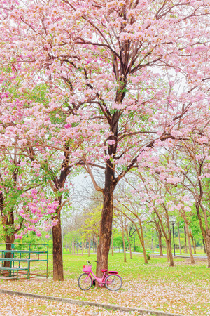 Tabebuia rosea is a Pink Flower in the public park. Pink trumpet tree, Pink poui, Pink tecoma, Rosy trumpet tree, Basant rani.