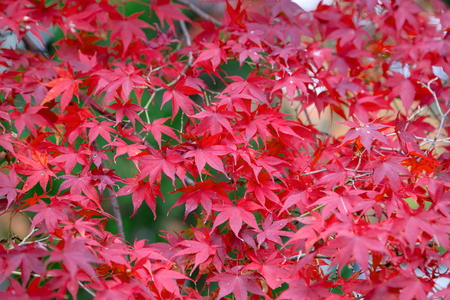 Autumn colorful red maple leaf of Japanese garden from under the maple