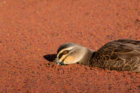Single duck floating on top of red algae covered lake with beak in the water, searching for food
