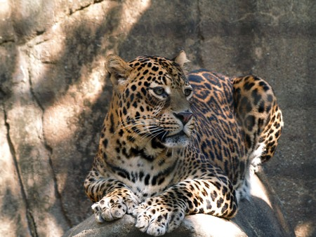 Leopard resting on a rock in the sun