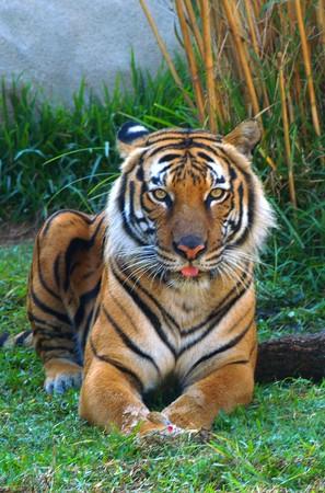 orange tiger sitting in green grass Stock Photo