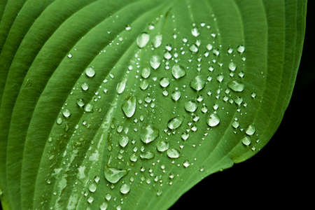 Water drops on big green leaf Stock Photo