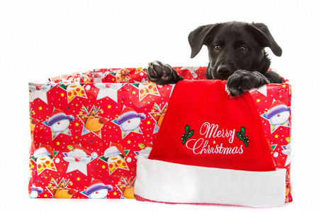 Black dog in box for christmas photo