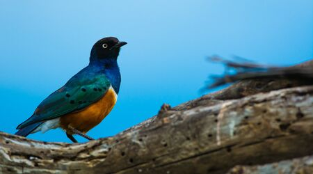 This is a picture of a Superb Starling