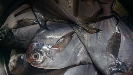 Fresh pomfret fish stock photo