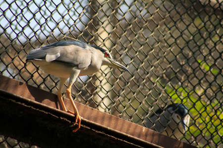 beautiful view of a bird Black-crowned Night Heron stand on steel billet. blur background photo