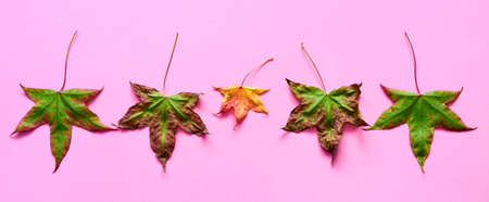 Liquidambar leaves in autumn drying out, concept of falling leaves in autumn