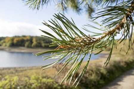 pine needles: Pine needles with country background
