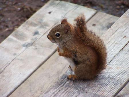 Little squirrel on deck step.