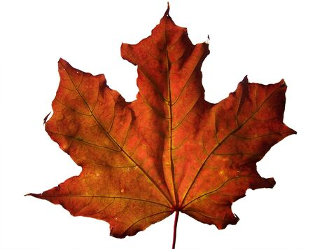 Red fall maple leaf.