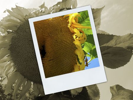 Monotone image of a Sunflower with a over top with full colour section of Sunflower. 写真素材