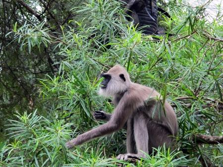 gray langur: A hanuman langur feeding itself in a tree