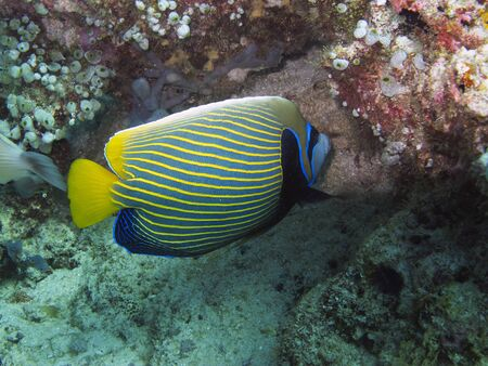 pomacanthus: Imperial Angelfish  Pomacanthus imperator  Stock Photo
