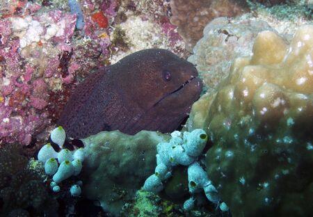 Giant moray eel  Gymnothorax javanicus  photo