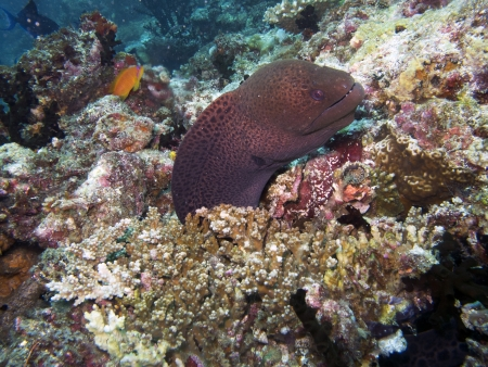 Giant moray eel  Gymnothorax javanicus  photo